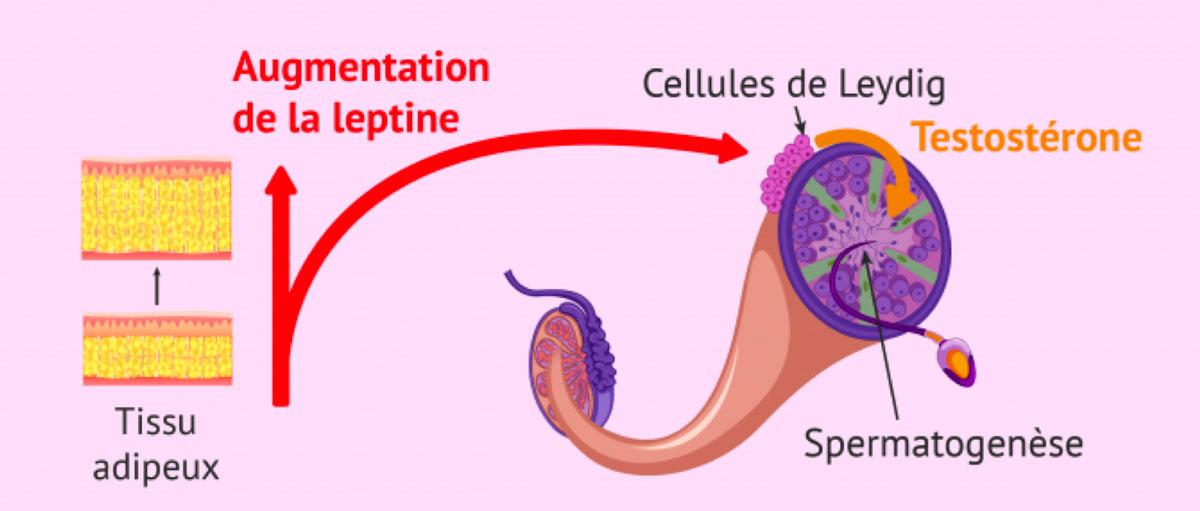 Taux d'hormones chez les hommes obèses